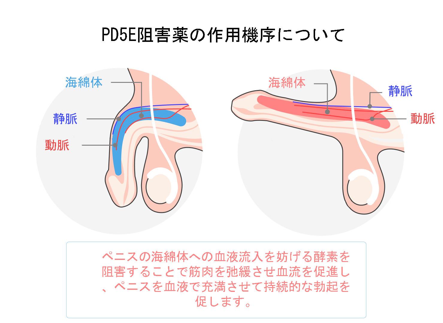 PD5E阻害薬の作用機序について
